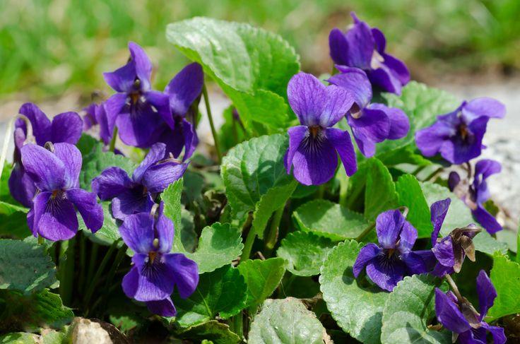 Název: Violka vonná Latin. název: Viola lilacina Rossm Čeleď: violkovité Latin. čeleď: Violaceae