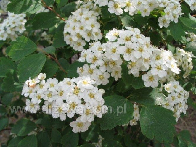 Tawuła van Houtte'a Spiraea x vanhouttei - wys. do 2,5m; liście szarozielone, kwiaty białe; kwitnie bardzo obficie w m-cach maj - czerwiec ; b. odporna na suszę i mróz; nadaje się do cięcia i formowania