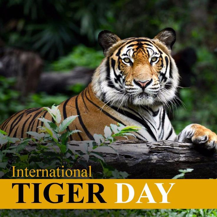 July 29 #InternationalTigerDay: Raise Awareness for Tiger Conservation.
