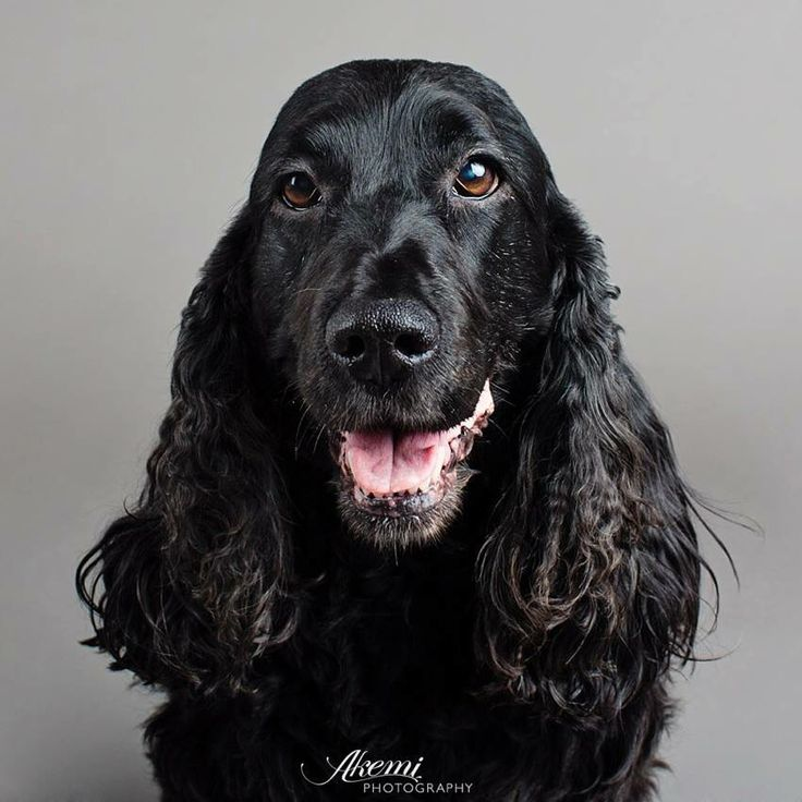 Gorgeous black cocker spaniel