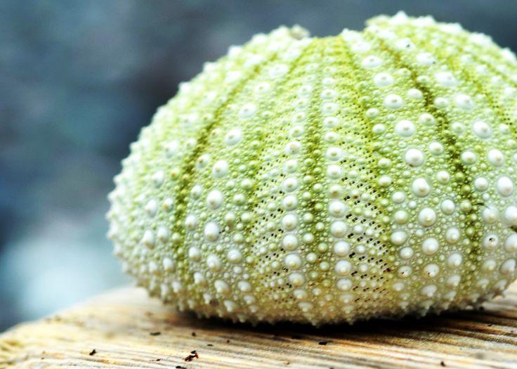 Sea Urchin Shell, North Head, Grand Manan, New Brunswick, Canada by Morgan Guptill