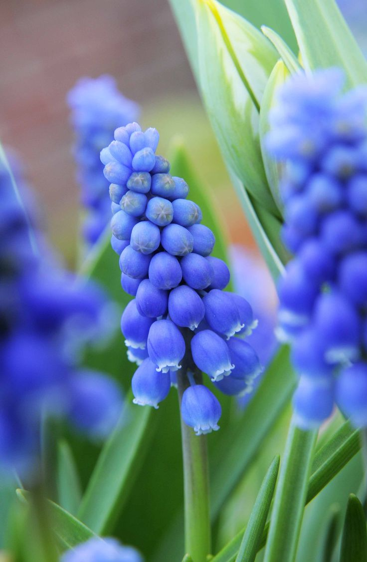 Grape hyacinth,Muscari armeniacum, has blue flowers like tiny bunches of grapes. They're attractive to pollinators, particularly the hairy footed flower bee. Find out more: http://www.gardenersworld.com/plants/muscari-armeniacum/1095.html Photo by Tim Sandall