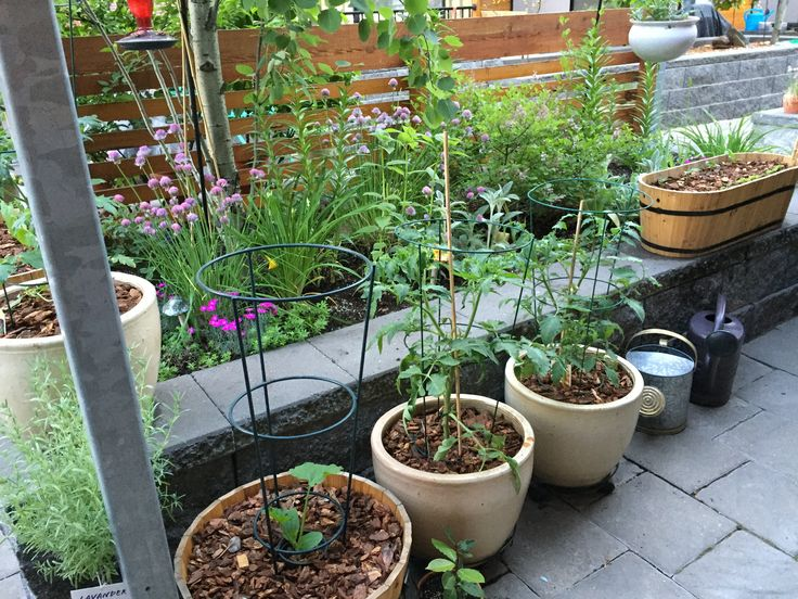 Potted tomatoes and zucchini