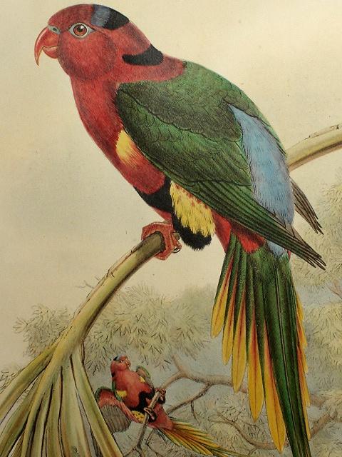 john gould bird prints