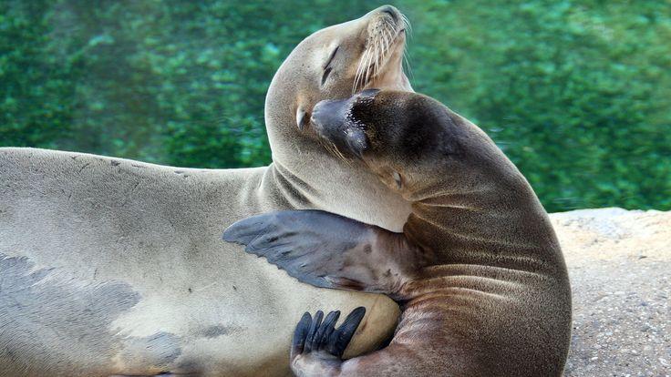 De Californische zeeleeuw leeft aan de Pacifische kust van Noord-Amerika en Mexico.
