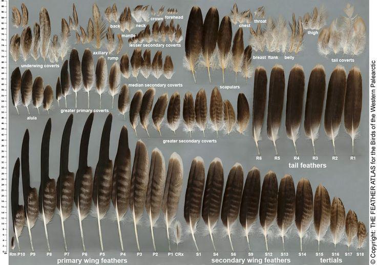 eagle+feathers.jpg (1024×720)