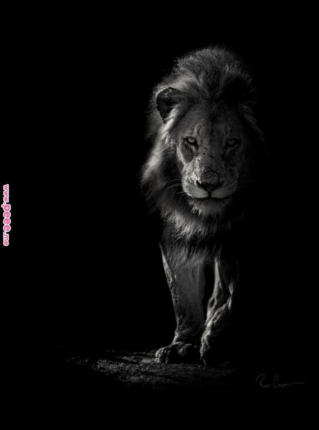 Black And White A Dividing Space Illuminated By Light Quotes Pinterest Animal Photography Animals And W Black And White Lion White Lion Lion Photography