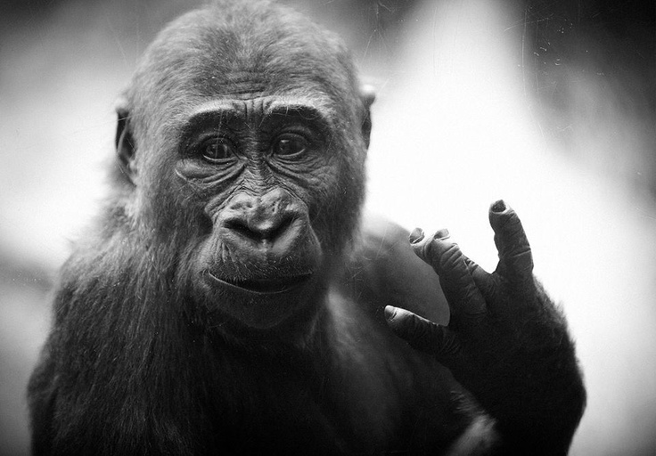touche. Animal lover, Animals, Gorilla