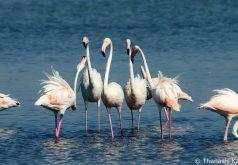 Flamingos στη λιμνοθάλασσα. 27/09/16.