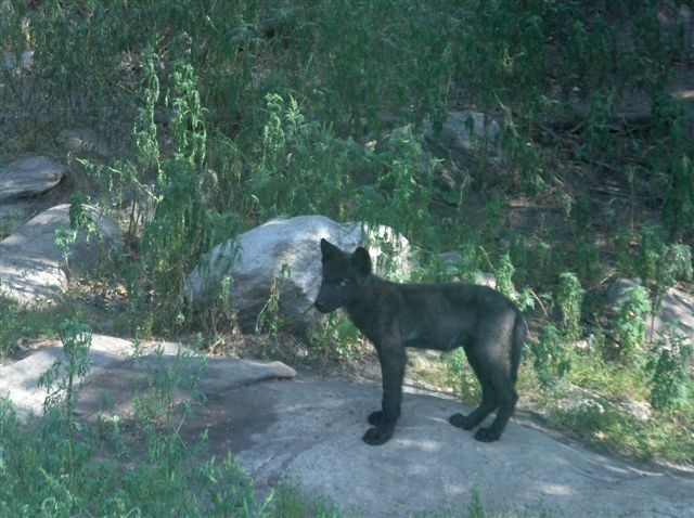 Cottage wildlife - Wolf pup (Ok: this is cheating a little...this cutie was at the Haliburton Wolf Centre just up the road!)