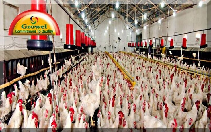 Poultry Housing Tips Growel Agrovet Poultry house