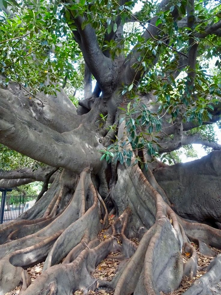 Rubber tree in Buenos Aires