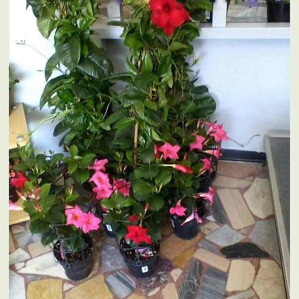 Sundeville pianta da esterno da pieno sole le nostre for Pianta da esterno sempreverde
