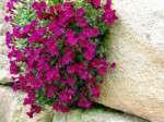 Pflanzen für die Bepflanzung von Garten- und Trockenmauern