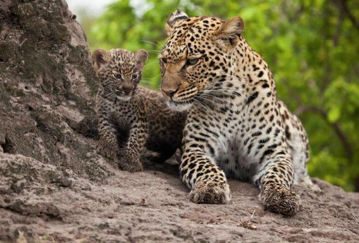 Twitter / SWildlifepics: A Leopard and her cub