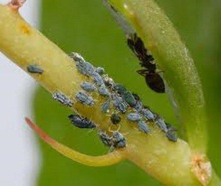Plagas y enfermedades más comunes de las plantas - http://www.jardineriaon.com/plagas-y-enfermedades-mas-comunes-de-las-plantas.html
