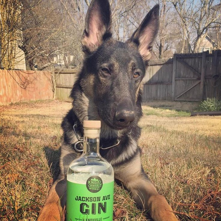 Hef wants you to know that the tasting room at Knox Whiskey Works is dog friendly! Pups & craft spirits sounds like a fun time to us! Jackson Ave Gin, Knoxville, TN