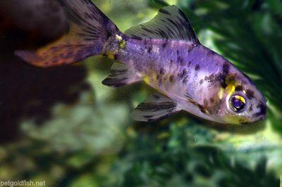 a shubunkin goldfish