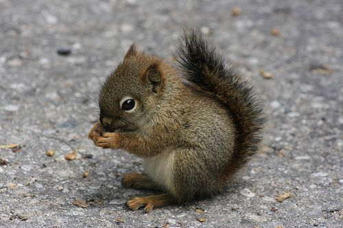 Baby Squirrel by Odalaigh, via Flickr: So happy Pinterest and Flickr have gotten together!