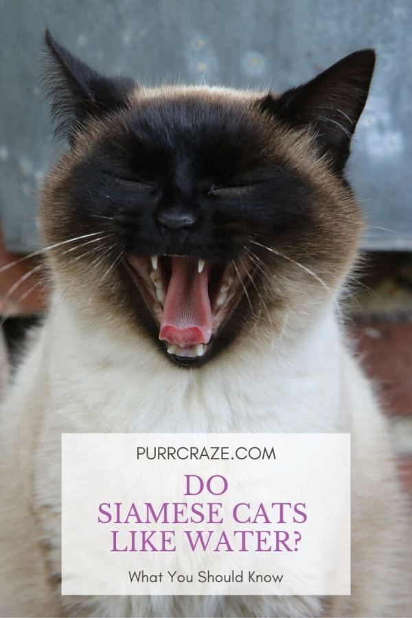 Do Siamese Cats Like Water Siamese Cats Facts Siamese Kittens Siamese Cats