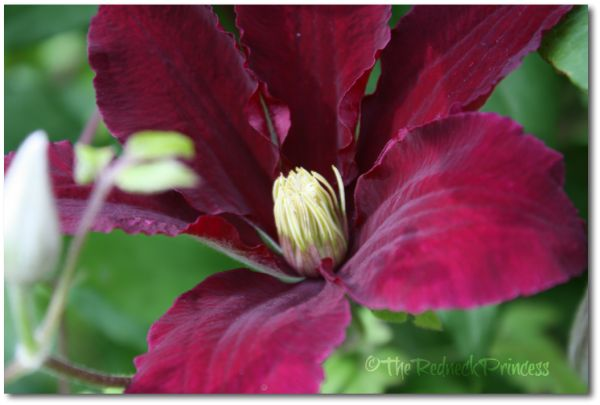 close up clematis