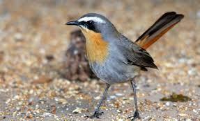 Image result for red bishop birds kzn