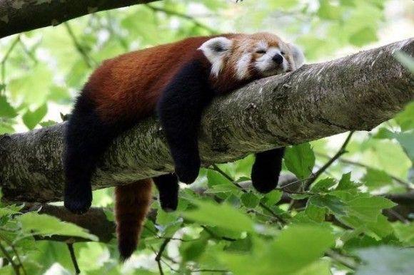レッサーパンダ                                                                                                                                                                                 もっと見る