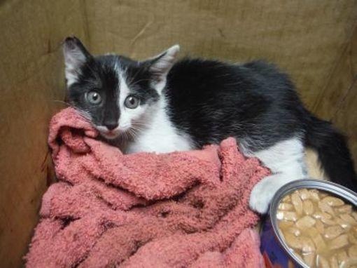 Fort Worth Tx Domestic Shorthair Meet 38855558 A Cat For Adoption Kitten Adoption Cat Adoption Pets