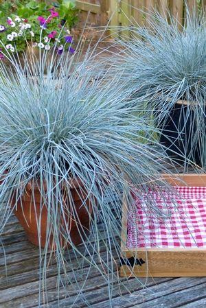 102 best blue fescue images on pinterest   ornamental grasses, Gartenarbeit ideen