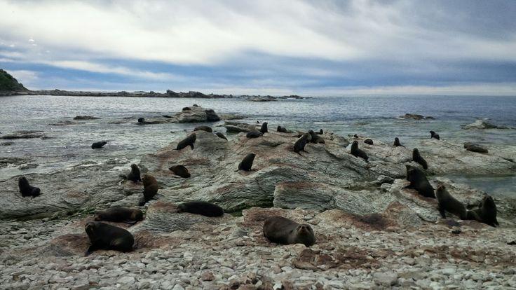 Kaikoura Seal Colony, South Island