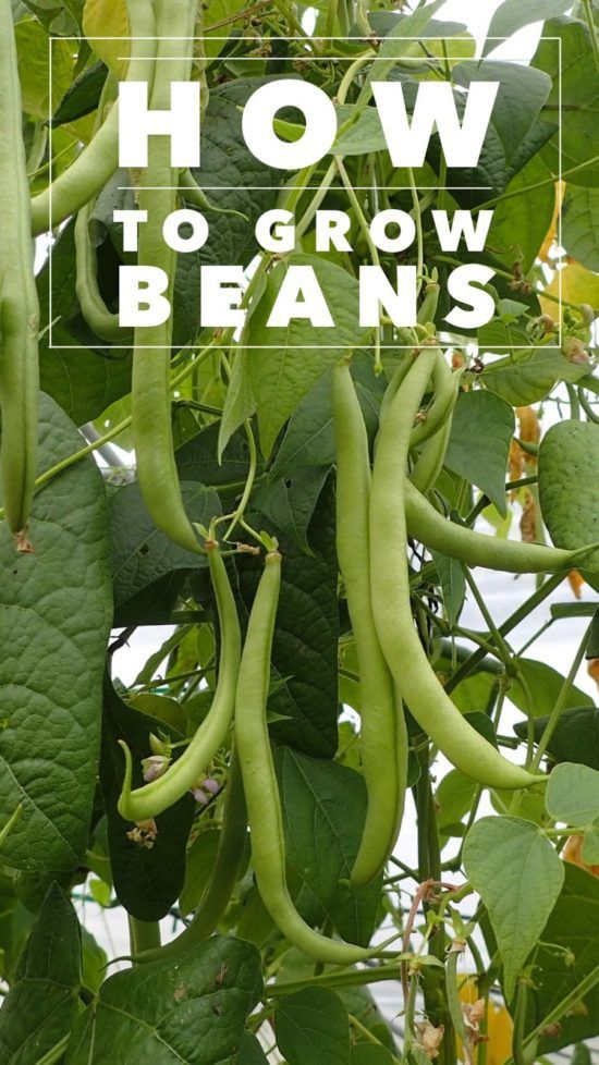 Bean Varieties There are two types of beans: snap beans and dry or shell beans. Snap beans are what you typically think of as a garden bean. Sometimes snap beans are called green beans or stringles…