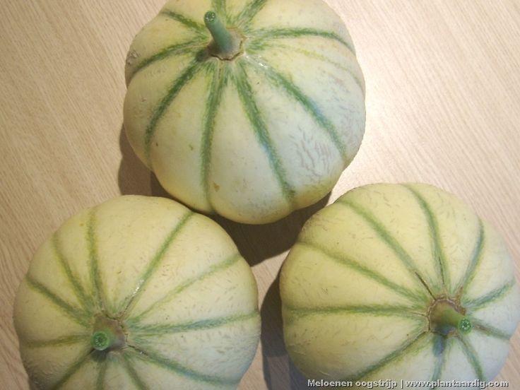 Meloenen kweken   Wanneer oogsten? Wanneer rijp? - GroentenInfo