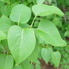 Syringa vulgaris  (common lilac):             Go Botany