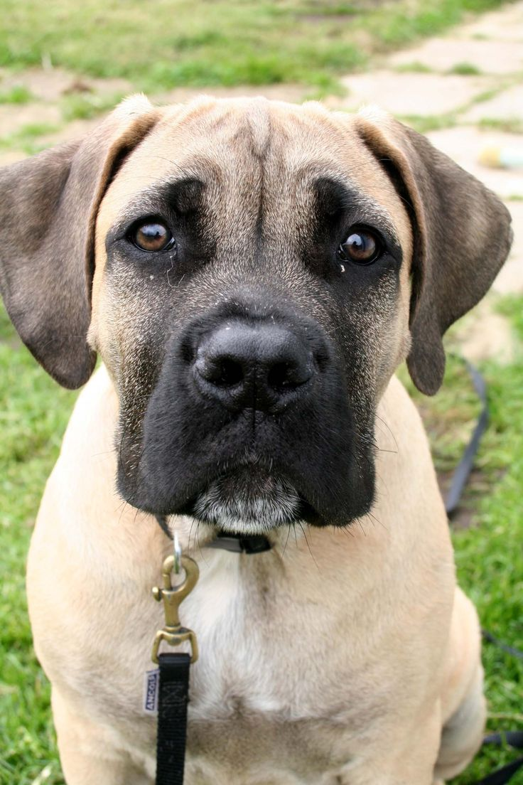 Mastiff dog breed information pictures characteristics amp facts -  Information Pictures Characteristics Amp Facts Boerboel Puppy So Cute Dog African Mastiff Download