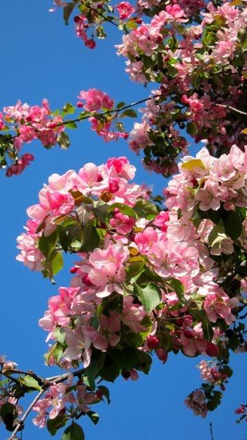 Hardy yet delicate - the perfect tree - Crabapple.  #PotentialistCanada