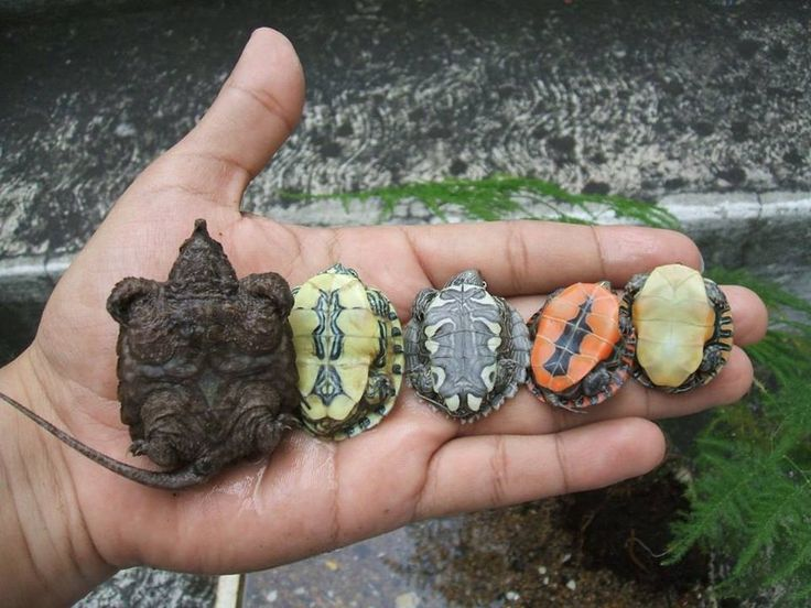 Baby Turtles That Dont Grow