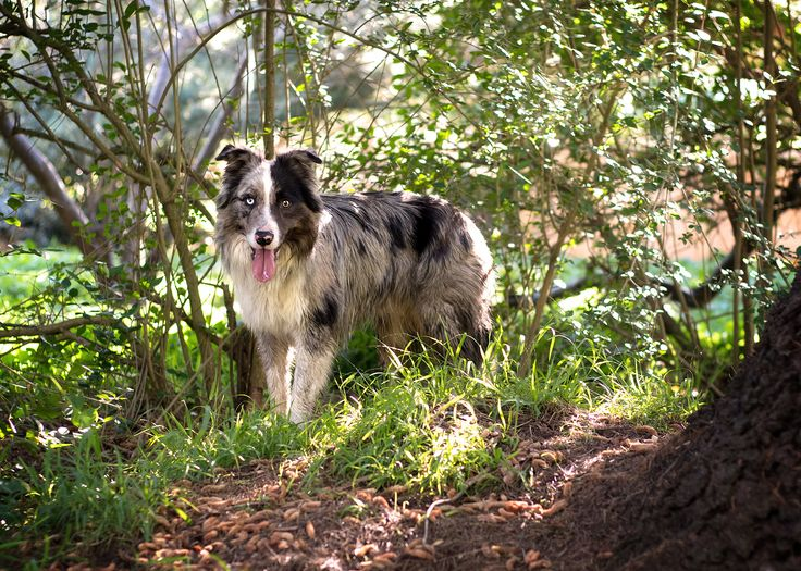 Brax - EVM Pet Photography - Yarra Valley Melbourne Blue Merle Border Collie - Dog Photography