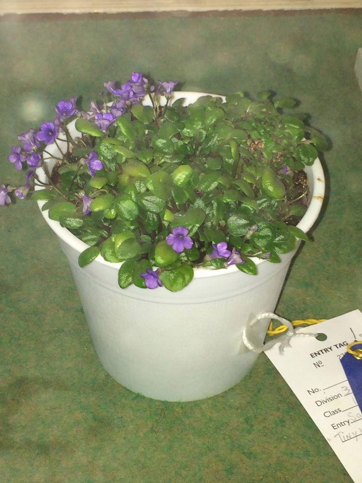 17 best images about miniature gardens plant ideas on for Micro vap violet