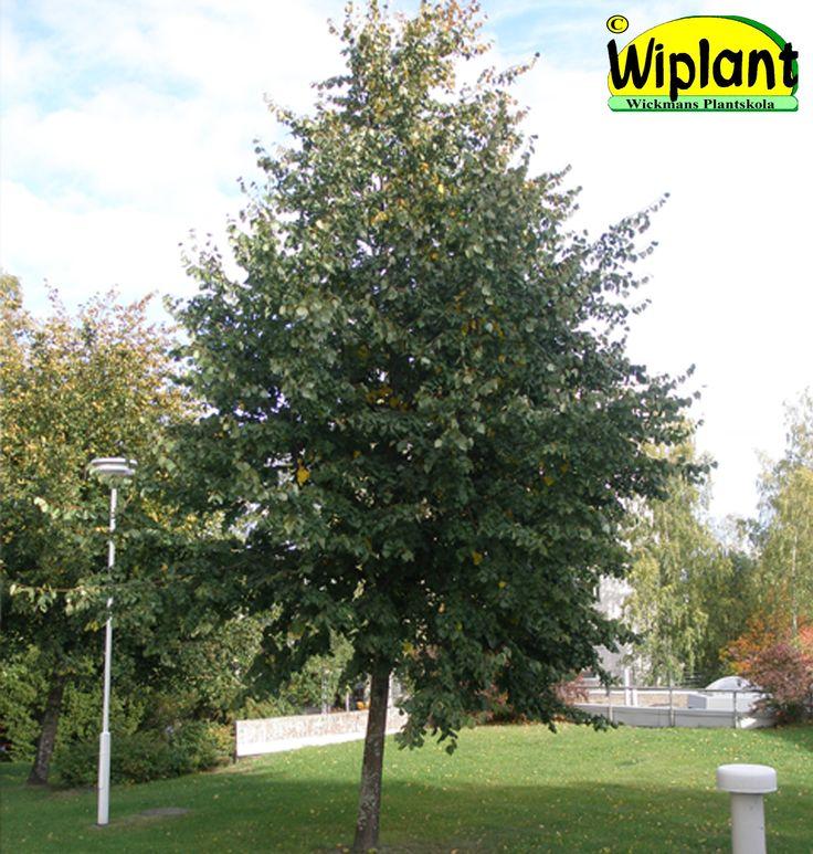 Tilia vulgaris, parklind. Smalare växtsätt än skogslind. Höjd: 15-30 m.