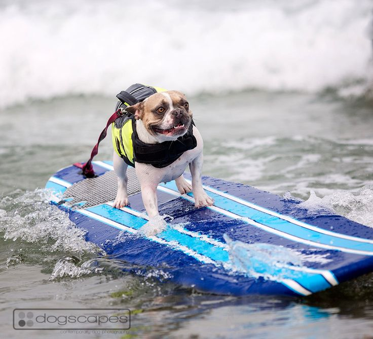 Cherie the frenchie riding a wave at dog surfing lessons at Del Mar Dog Beach, San Diego! Sponsored by @Helen Woodward Animal Center  #french #bulldog #surf #dogs #photography :: dogscapes.com
