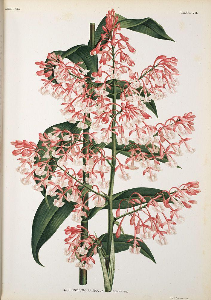 Jean Jules Linden Lindenia. Iconographie des Orchidées , 1885-1906; Epidendrum Paniculatum. Reinwardt, Image number:SIL7-289-03