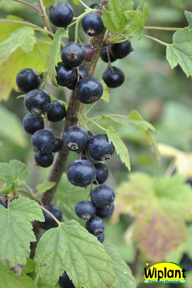 Ribes nigrum 'Melalahti', svarta vinbär. Upprättväxande mjukskalig sort. Goda bär för direktnjutaren. Höjd: 1-1,5 m.
