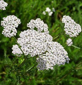 Coada-şoricelului (Achilea millefolium) - beneficii și proprietăți