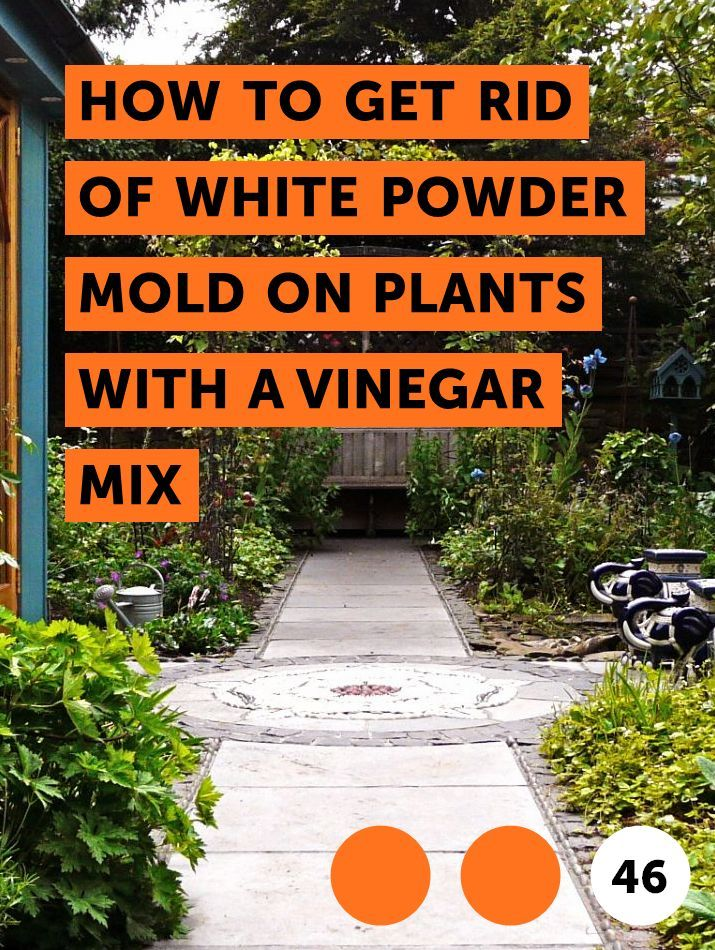 Learn How To Get Rid Of White Powder Mold On Plants With A Vinegar Mix How To Guides Tips And Tricks Plants Planting Hydrangeas Plant Fungus