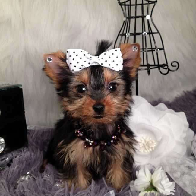 Victorianbulldog Teacup Yorkie Puppy Teacup Yorkie Yorkie Puppy For Sale