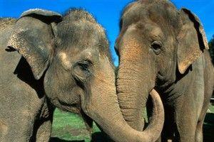 Elefante Asiático: en peligro principalmente debido a la deforestación de las zonas que ocupan, y a su caza furtiva para obtener el preciado marfil de sus colmillos. Actualmente el comercio de marfil está prohibido, pero se sigue practicando en el mercado negro.