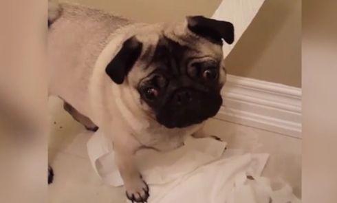 Cão com cara de culpado, apanhado em flagrante a desenrolar papel higiénico
