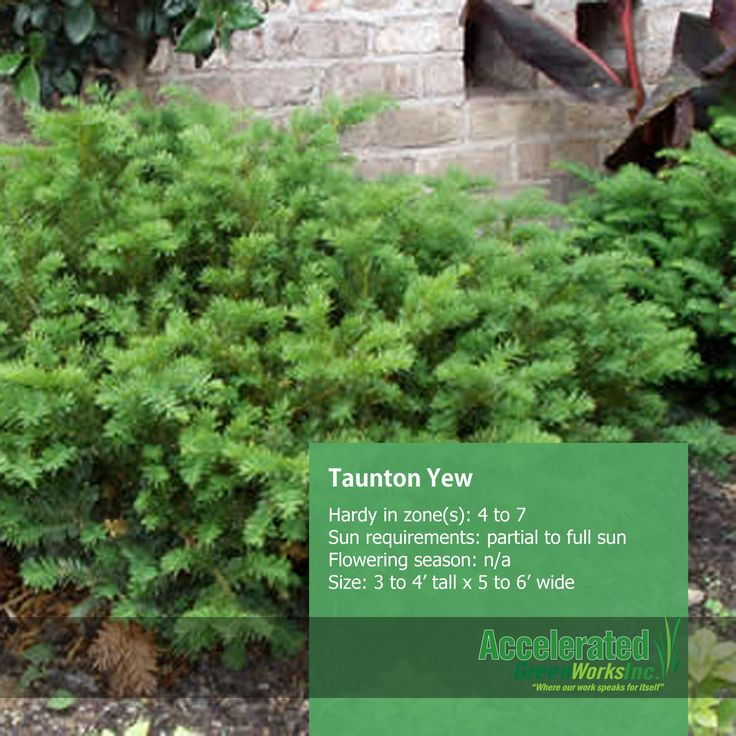 Woody plants 2 on Pinterest | Shrub, Evergreen and Evergreen Shrubs
