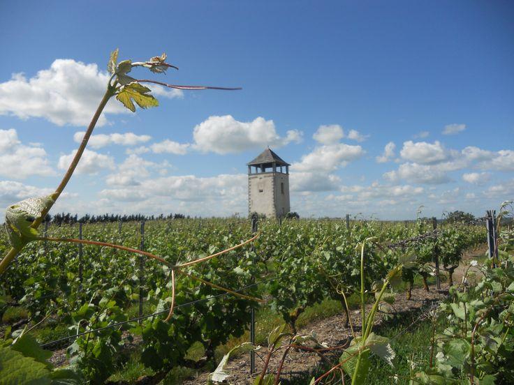 Randonnée dans les vignes près de Chalonnes-sur-Loire en Anjou en juin 2012