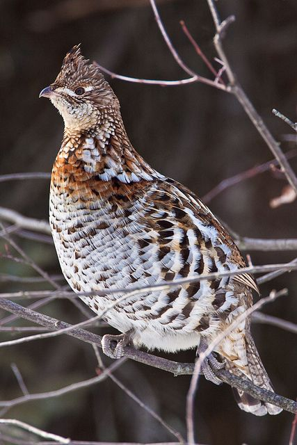 Ruffed Grouse - Appalachian Mountains of US, Northern Rockies, Most of Canada